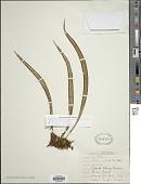 view Ananthacorus angustifolius (Sw.) Underw. & Maxon digital asset number 1