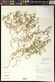 view Euphorbia serrula Engelm. in Emory digital asset number 1