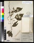 view Byttneria macrocarpa Donn. Sm. digital asset number 1