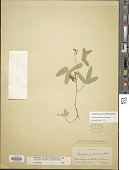 view Cologania jaliscana S. Watson digital asset number 1