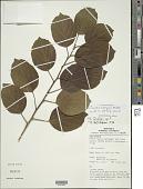 view Cordia obliqua Willd. digital asset number 1