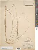 view Sporobolus jacquemontii Kunth digital asset number 1