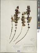 view Symphoricarpos orbiculatus Moench digital asset number 1