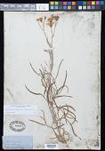 view Senecio douglasii var. jamesii (Torr. & A. Gray) Ediger ex Correll digital asset number 1
