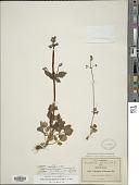 view Valeriana barbareifolia M. Martens & Galeotti digital asset number 1