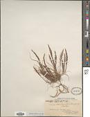 view Catapodium rigidum (L.) C.E. Hubb. digital asset number 1