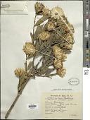 view Dinoseris salicifolia Griseb. digital asset number 1