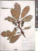 view Ficus cyathistipula Warb. digital asset number 1
