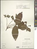view Syzygium samarangense (Blume) Merr. & L.M. Perry digital asset number 1