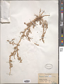 view Panderia pilosa Fisch. & C.A. Mey. digital asset number 1