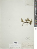 view Didymoglossum reptans (Sw.) C. Presl digital asset number 1