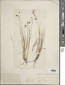 view Carex magellanica Lam. digital asset number 1