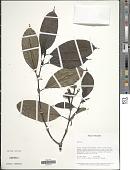 view Palicourea tepuiensis (Steyerm.) C.M. Taylor digital asset number 1