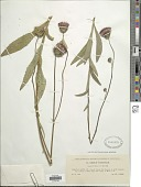 view Cirsium pannonicum (L. f.) Link digital asset number 1