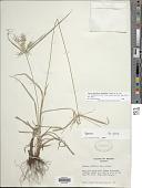 view Cyperus thyrsiflorus Jungh. digital asset number 1