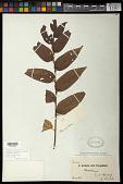 view Trema micrantha (L.) Blume digital asset number 1