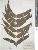 view Steiropteris glandulosa (Hook. f.) Pic. Serm. digital asset number 1