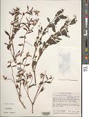 view Begonia urticae L. f. digital asset number 1