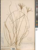 view Chloris submutica Kunth digital asset number 1