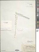 view Scytonema hofmannii C. Agardh ex Bornet & Flahault digital asset number 1