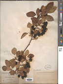 view Malus fusca (Raf.) C.K. Schneid. digital asset number 1