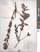 view Spiraea x vanhouttei digital asset number 1