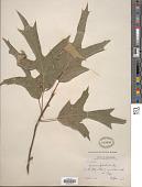 view Quercus falcata Michx. digital asset number 1