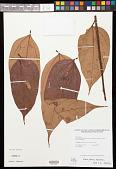 view Theobroma bernouillii subsp. capilliferum (Cuatrec.) Cuatrec. digital asset number 1