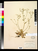 view Micranthes ferruginea (Graham) Brouillet & Gornall digital asset number 1