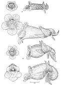 view Gasteranthus wendlandianus (Hanst.) Wiehler digital asset number 1