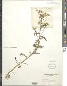 view Senecio vulgaris L. digital asset number 1