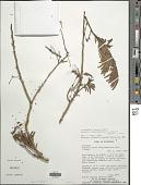 view Ebenopsis campylacantha digital asset number 1