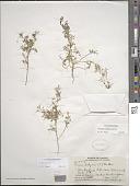 view Lepidium didymum L. digital asset number 1