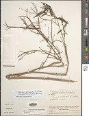 view Lasiacis divaricata var. austroamericana Davidse digital asset number 1