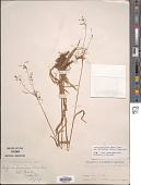 view Luzula parviflora subsp. melanocarpa Desv. digital asset number 1