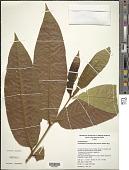 view Terminalia myriocarpa Van Heurck & Müll. Arg. digital asset number 1