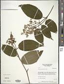 view Clidemia novemnervia (DC.) Triana digital asset number 1