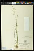 view Panicum combsii Scribn. & C.R. Ball digital asset number 1