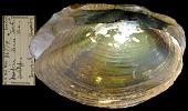 view Iridina (Pleiodon) ovata digital asset number 1