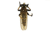 view Giant Robber Fly digital asset number 1