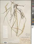 view Calamagrostis porteri A. Gray digital asset number 1