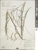 view Aeschynomene paniculata Vogel digital asset number 1