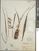 view Eleutherine plicata Klatt digital asset number 1