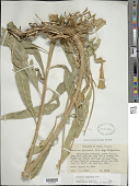 view Oenothera longissima Rydb. digital asset number 1