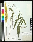 view Arthrostylidium pubescens Rupr. digital asset number 1