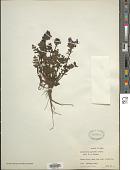 view Pedicularis punctata Decne. digital asset number 1