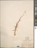 view Pogonatherum crinitum (Thunb.) Kunth digital asset number 1