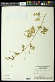 view Cardiospermum halicacabum L. digital asset number 1