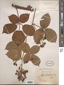 view Rubus fusciformis Sudre digital asset number 1