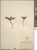 view Androcymbium ciliolatum Schltr. & K. Krause digital asset number 1